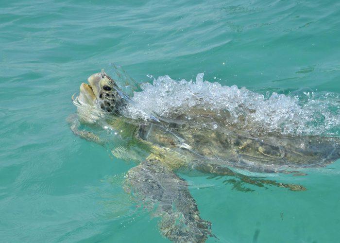 A turtle in sian ka'an